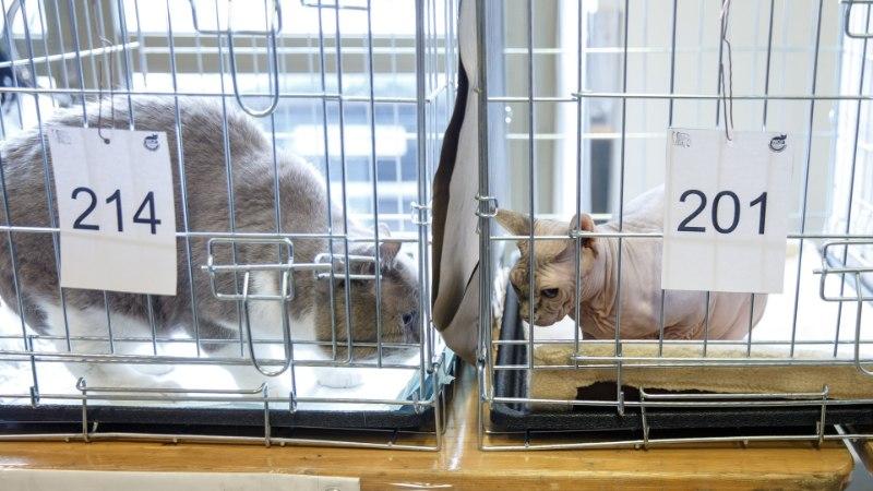 Фото и видео: в Таллинне прошла международная выставка кошек