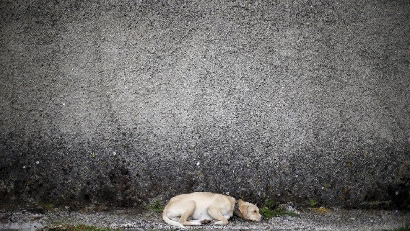 SÜDANTLÕHESTAV: metsa jäetud koer jooksis kilomeetreid peremehe auto sabas