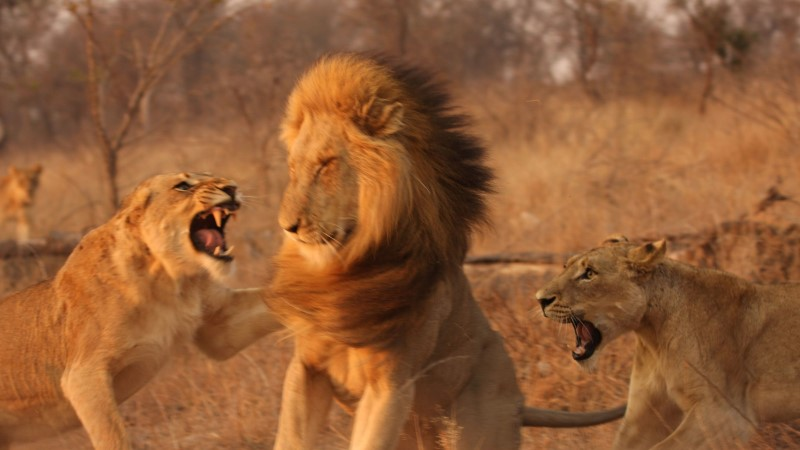Lõvid pistsid salaküti pea täielikult nahka