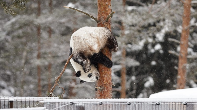 VIDEO JA FOTOD | Oh seda rõõmu! Viimaks õue pääsenud Soome pandad hullasid lumes