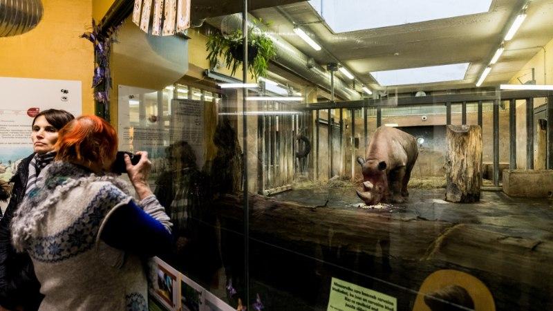 VIDEO JA FOTOD | Ninasarvik Kigoma tähistas loomaaias 8. sünnipäeva tordiga