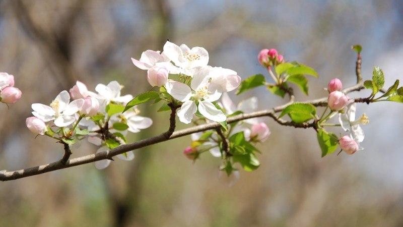 Kiirusta kevadet tagant! Kaunista kodu õitsevate okstega!