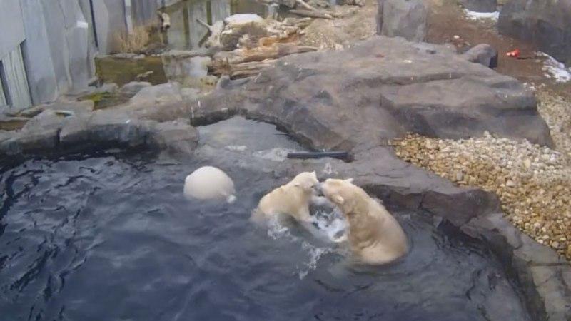 VIDEO | Jääkaru Nora kohtus isakaru Ranzoga