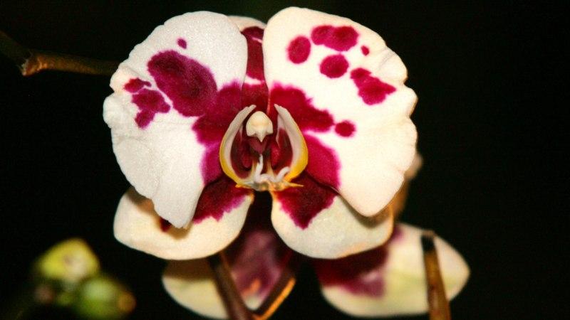 Armastatud kuuking sobib hästi esimeseks orhideeks