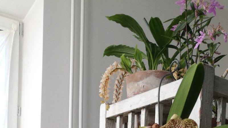 Taavi Teplenkov orhideelembusest: kastmine võtab mul kokku umbes poolteist tundi