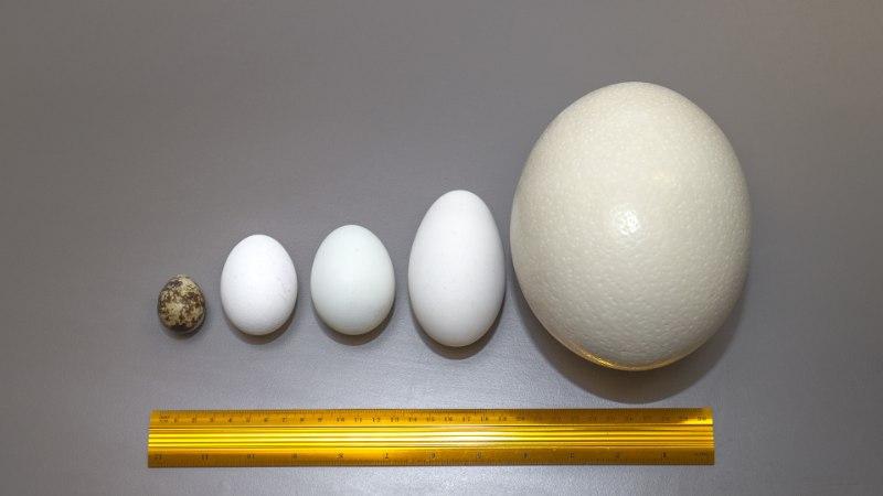 ÕHTULEHE VIDEOKATSE | Matk munamaailma: mis vahe on jaanalinnu, hane, pardi, kana ja vuti munadel?
