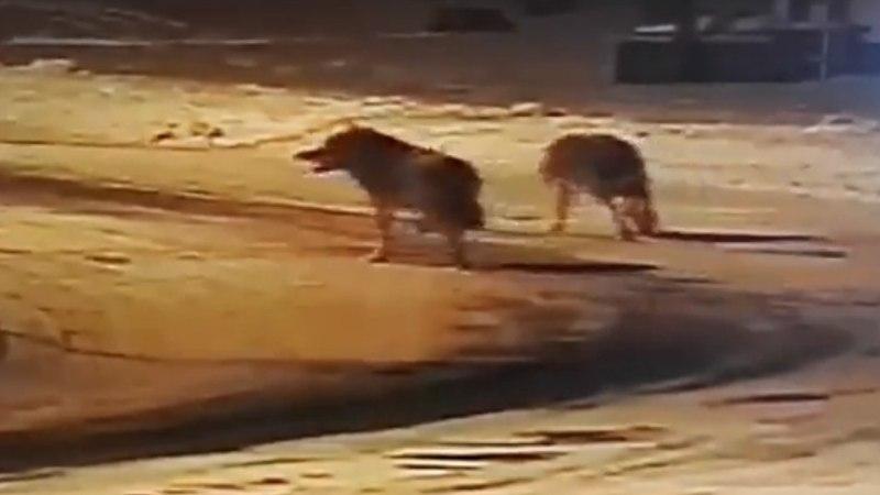 VIDEOKAADRID | Hundid laiasid Pürksi küla peatänaval ja puresid koera
