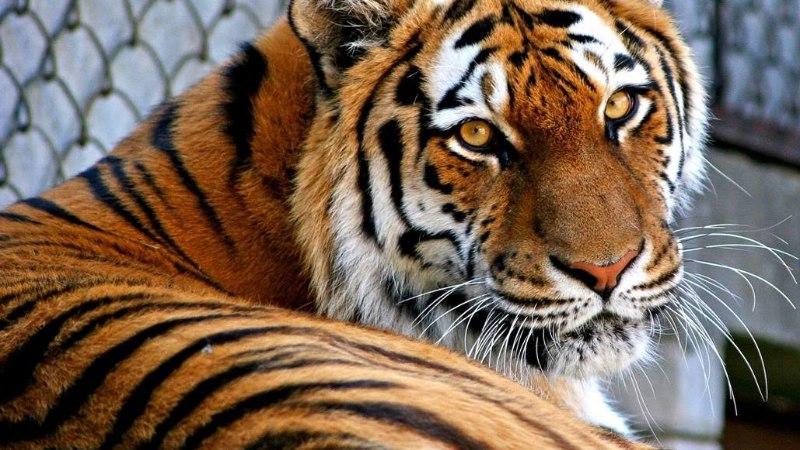 LEIN TALLINNA LOOMAAIAS: lahkus 20aastane amuuri tiiger Piiga