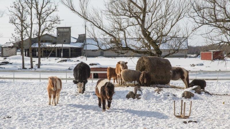 GALERII JA VIDEO | Farmiloomade turvakodus elavad kõrvuti supipotist pääsenud hani, pruudi kaotanud kukk ja Pilpaküla kitsed