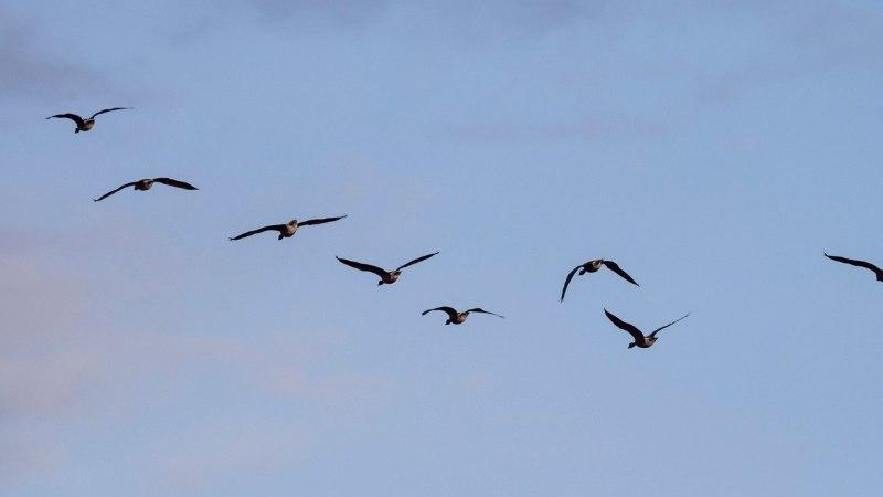 Linnukaitsjad: hanede tapmine kevadrändel on sügavalt ebaeetiline