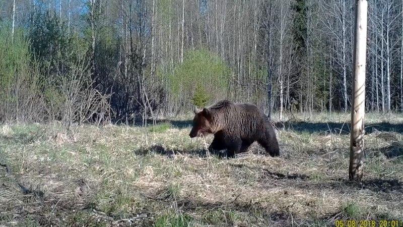 VIDEO   Koolilaste rajakaamera tabas karu tuleku