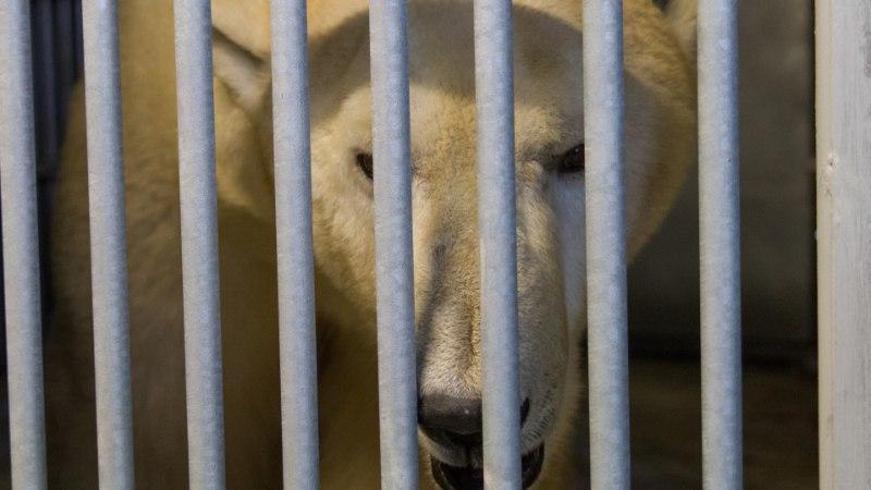 FOTOD | Tallinna loomaaia jääkaru Nord uinutati ja koliti uude polaariumisse