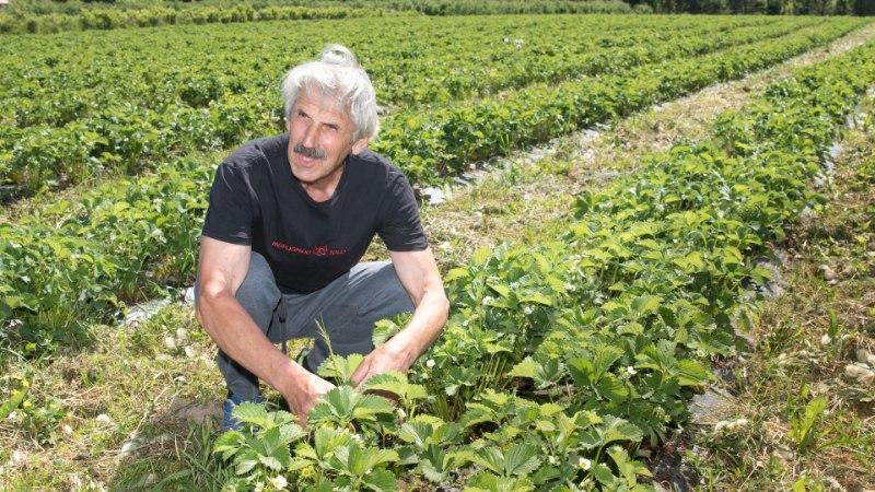 Põllumehed ihkavad vihma: maasikasaak on hea, kuid teravili kidub