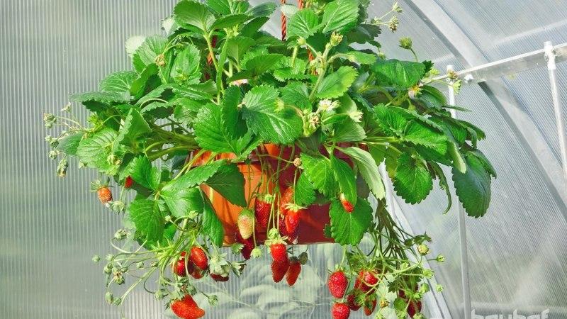 Kuidas kasvatada taimi väikesel pinnal?