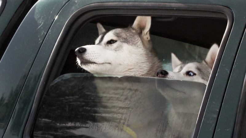 MÄRKA JA AITA: kolm reeglit juhuks, kui koer on jäetud suvepäeval autosse
