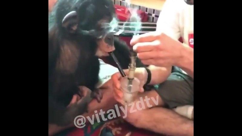 Блогер накурил обезьяну и прослыл живодером (ВИДЕО)