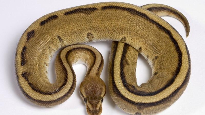 ŠOKK: Londonis leidis naine hommikul ärgates enda kõrvalt suure mao