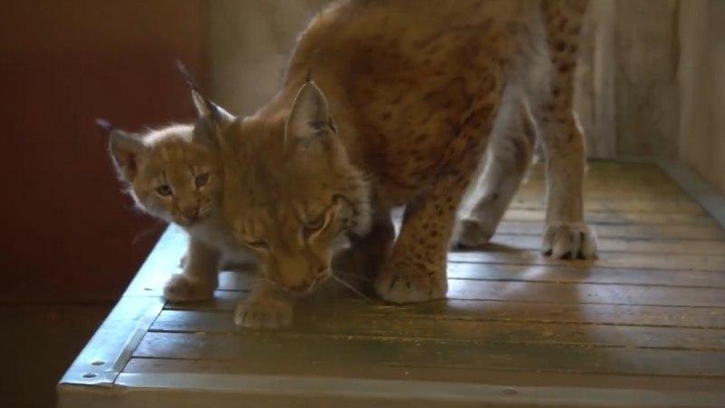 VIDEO | Nii nunnu! Väike ilvesepoeg uudistab loomaaias inimesi