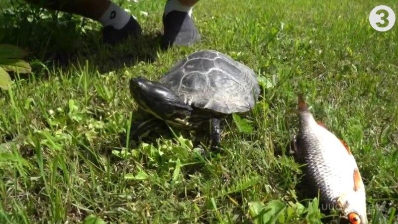VIDEO | Kolm aastat Viljandi järves elanud kilpkonna omanik: ta on tublisti kasvanud!