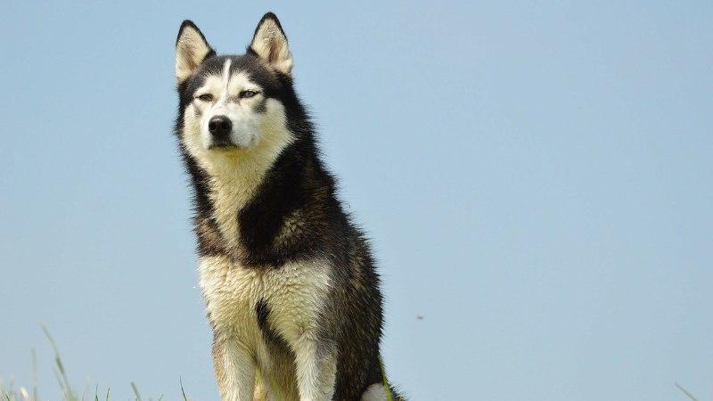 Saaremaal kaubikusse aheldatud koer leidis kodu Lapimaal