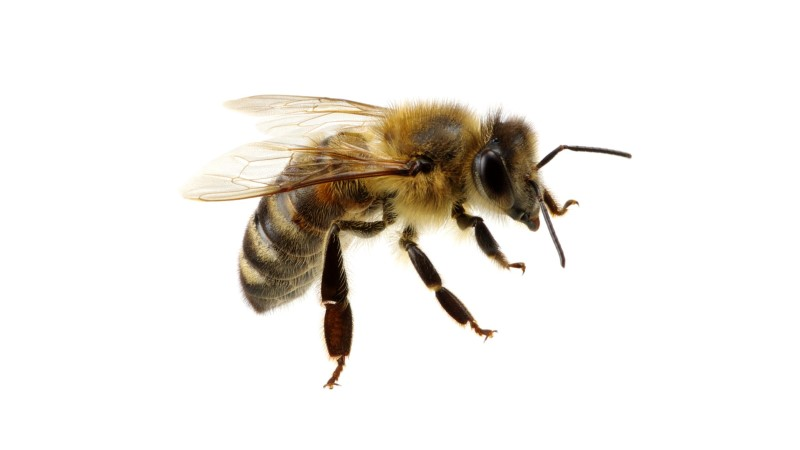 Kas teadsid? Putukaallergia risk suureneb iga järgmise nõelamisega