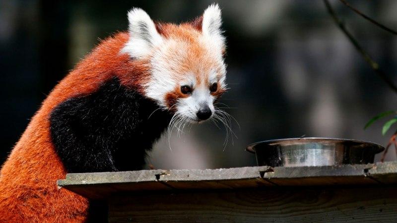 Helsingi loomaaias sündis haruldane punane panda