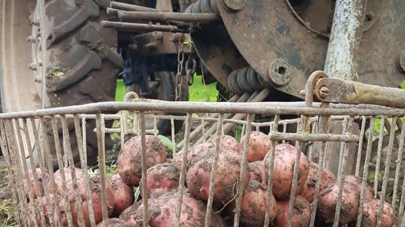 Tänavune kartulisaak jääb poole väiksemaks