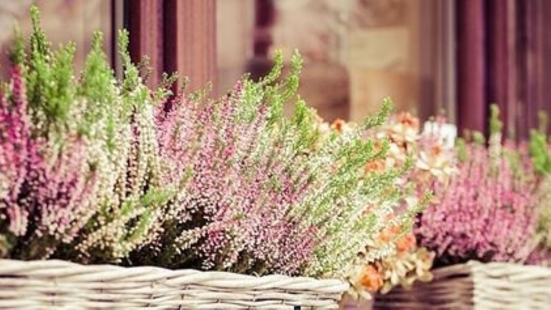 Milliste taimedega pikendada suvist värvikirevust aias?
