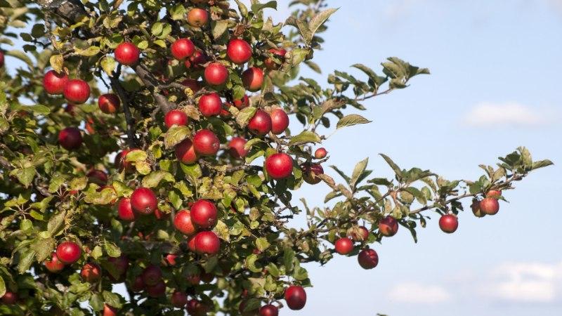 Õunad ei mahu enam kuskile ära? Valmista neist veini!