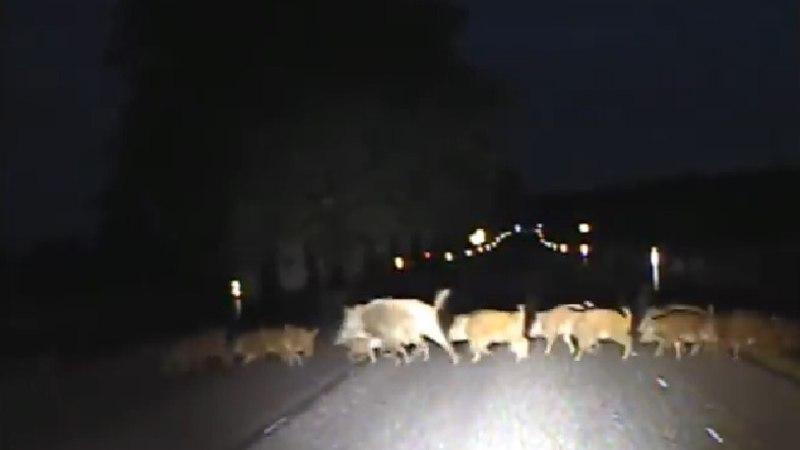 VIDEO | Politseipatrull sattus peale metsseakarjale