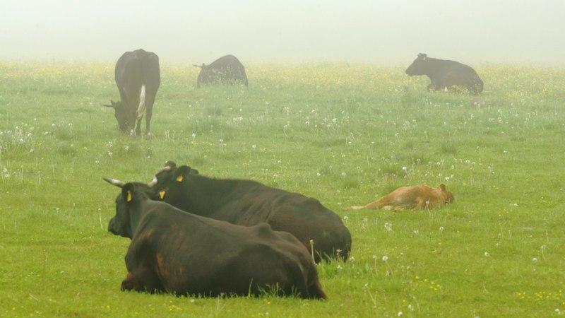 Laiule unustatud lehmakari on kasvanud ligi kolm korda
