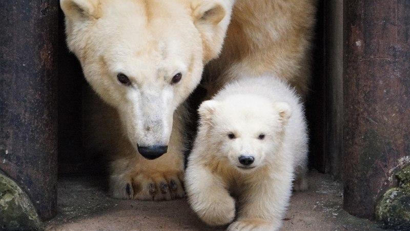 Из-за смерти медведя Норда Таллиннскому зоопарку придется расстаться и с его сыном Ароном