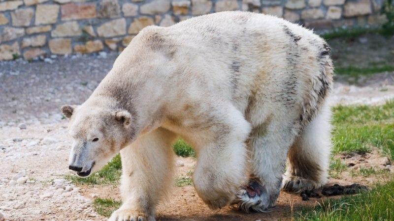 Jääkaru Nordi nahk on soolas, skelett läheb maaülikooli anatoomiamuuseumile