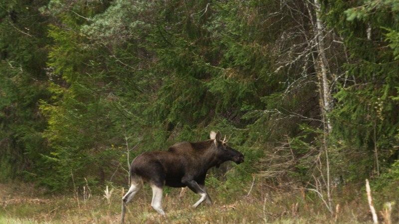 Metsik loodus: Aegviidu lähistel purustas reisirong põdra