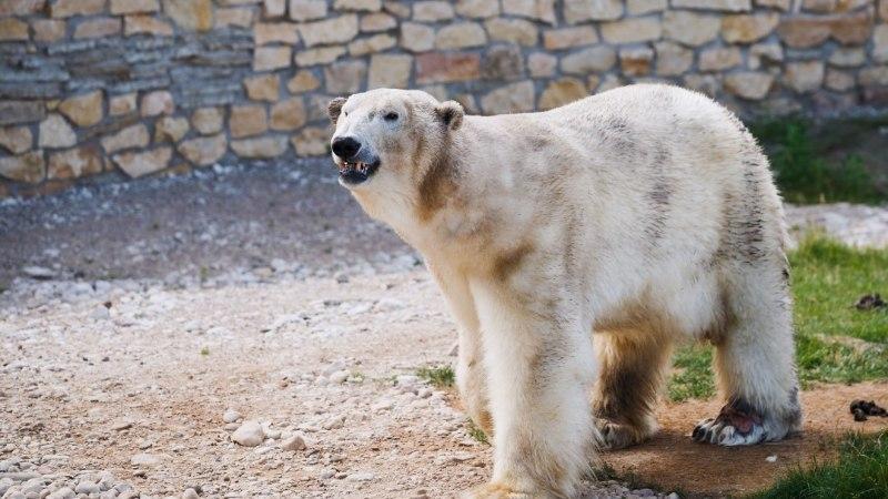 В Таллиннском зоопарке ветеринары не смогли спасти белого медведя Норда