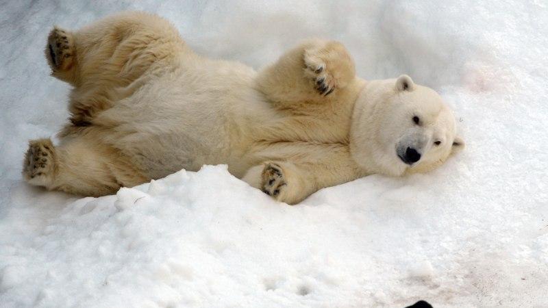 OHTLIK OLUKORD: Vene külakest terroriseerivad jääkarud