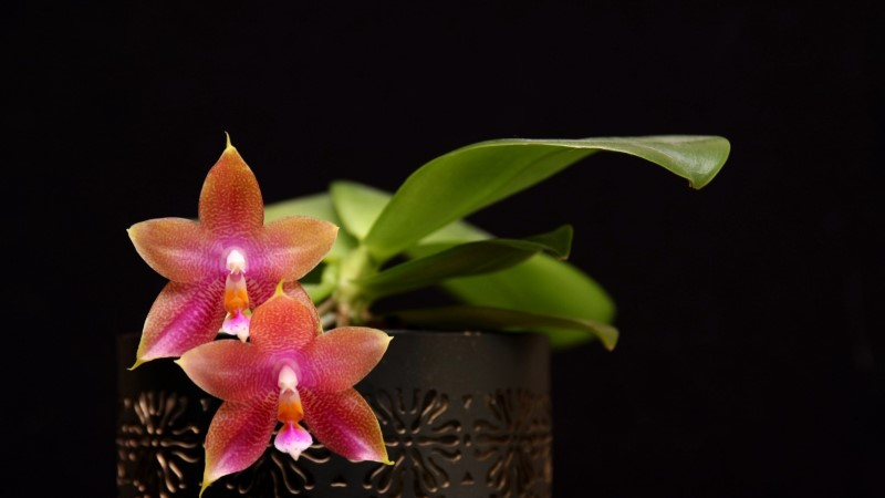 Kogenud orhideekasvataja jagab saladusi: kuidas kooselu kuukingadega sujuvaks muuta?