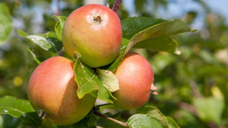 ÕUNAPETTUS: väidetavalt kodumaiste õunte tegeliku päritolu reetsid Eestis keelatud toimeainete jäägid