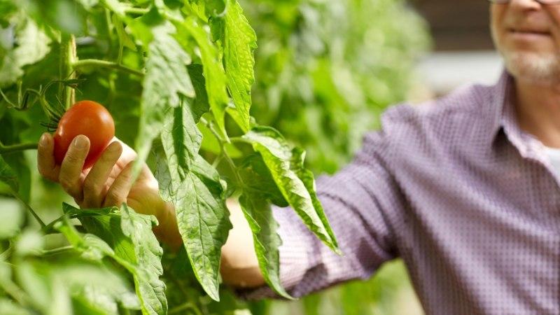 Kasvata ise seemnest tomatiks – nõuanded, et kõik õnnestuks!