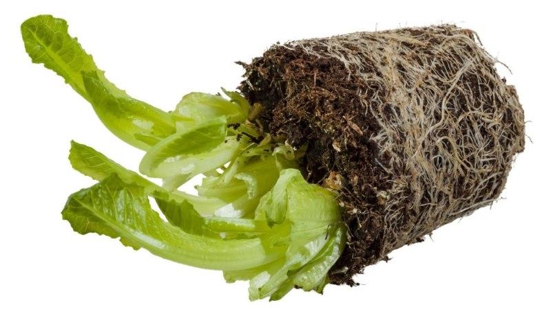 HEA MEELES PIDADA! Salatitaimede teine tulemine