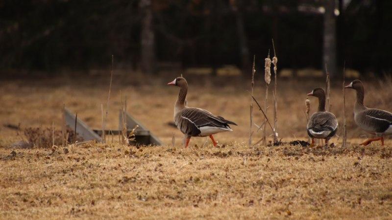 GALERII | Loodushetked: haned kogunevad kevadisele koosolekule