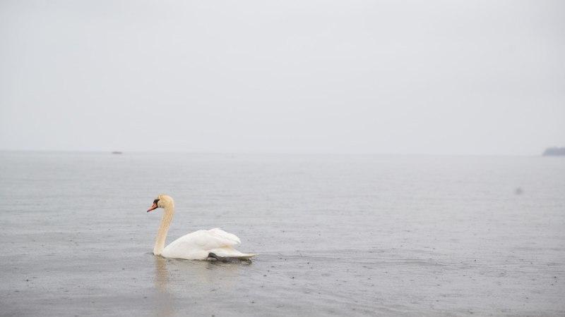 Ежегодно на дамбе на островах Эстонии погибает около 70 лебедей