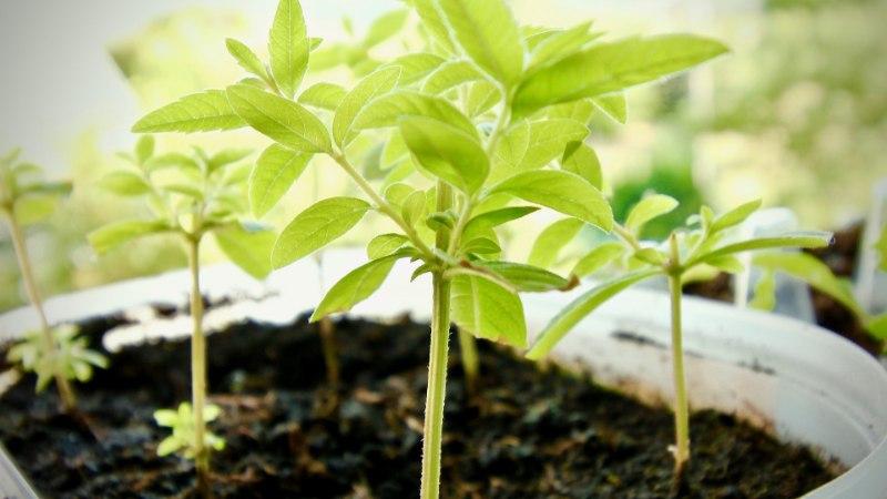 Kasvata organismi puhastavat sidrunheina oma aias