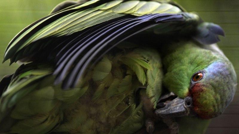 TULISTAMINE, MAOHAMMUSTUS JA RÖÖVIMINE: traagilise eluga papagoi jõudis tagasi loomaaeda