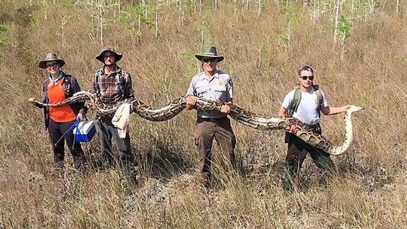 HARULDANE: Floridas püüdsid teadlased 5,2 meetri pikkuse tiigerpüütoni