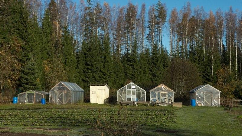Kuidas kasvuhoone kevadel desinfitseerida?