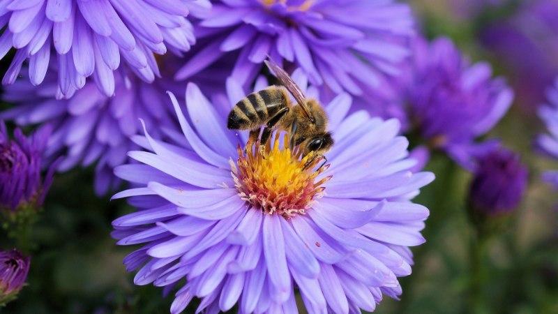 Kas oskad vahet teha: mesilane, herilane või kimalane?