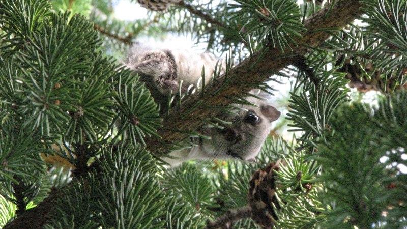 METSAOMANIK: ma ei saa lendorava pabulate pärast isegi mädanenud puuronti metsast kaasa võtta!