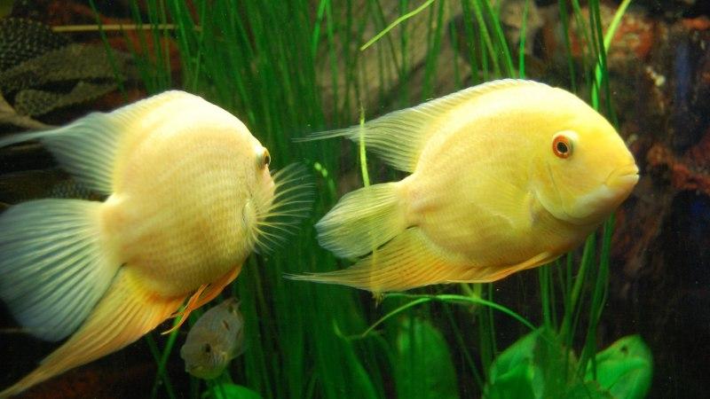 Teadlased: partnerist lahutatud kala tunneb armuvalu