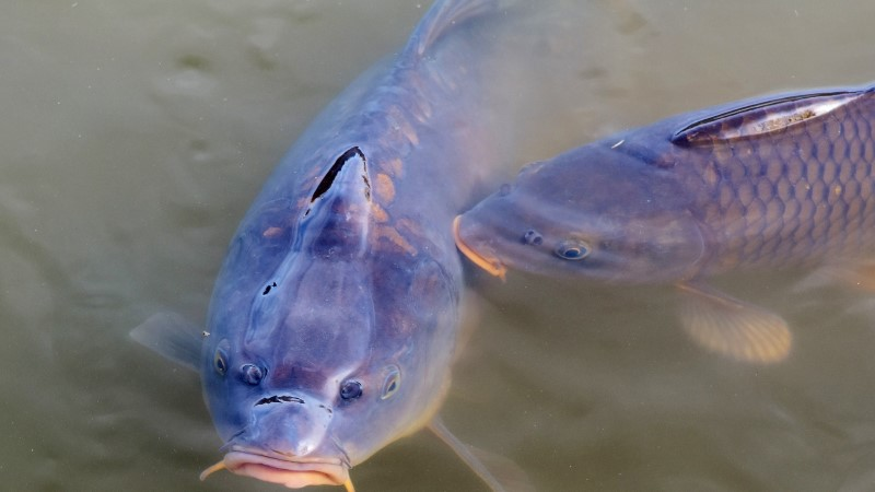 Ameeriklased katsetavad karpkala vastu võitlemises herpest ja kalakahurit